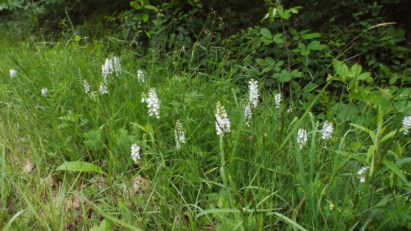 dactylorhiza maculata orchidées sauvages amboise montreuil-en-touraine
