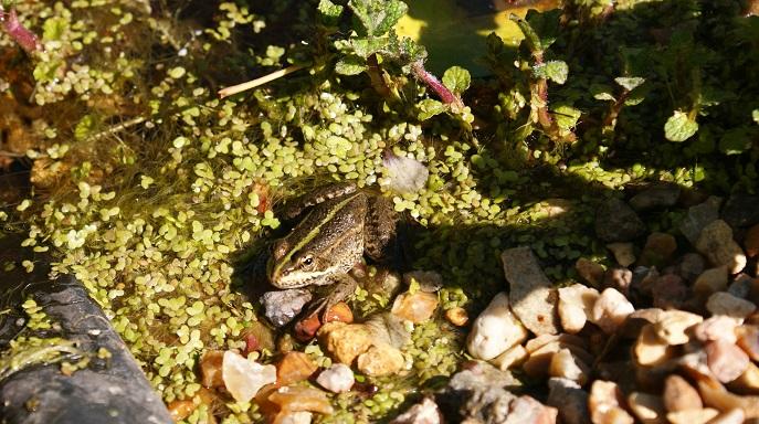 grenouille rieuse au jardin écologique