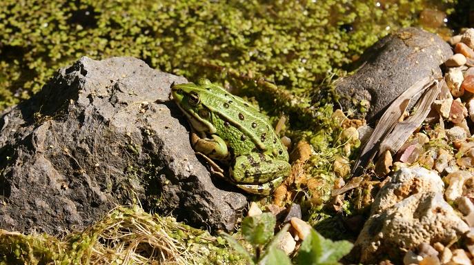 grenouille au jardin écologique