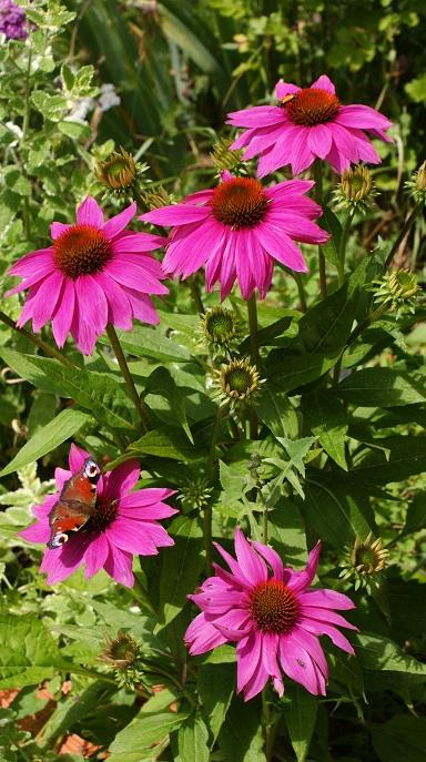 la bioidversité papillon insecte sur rudbeckia