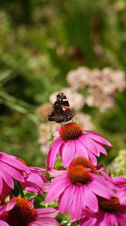 papillon sur rudbeckia